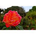 strike it rich rose flower huntington library san marino california mjghajar
