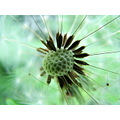 macro close dandelion