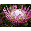 bromeliad pink tropical flower