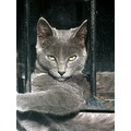 cat pet gray
