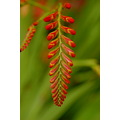 crocosmia flowers buds doctonmillgardens devon