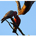 birds couple Pink and Grey Parrots share love perth hills littleollie