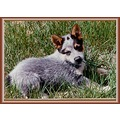 Blue Heeler Dog My Animals