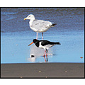 birds gull oystercatcher