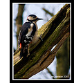 Wildlife Natural History Birds Woodpecker Greater Spot Spideyj