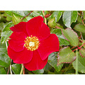 autumn flower red redfph rose