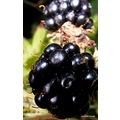 Blackberry brambleberry wild berries nature plant