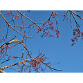 bluesky berries winter nature naturefph