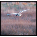 bird owl barnowl nature