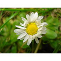 Nature Gillards Daisy Grass Macro Plant Flower Beauty