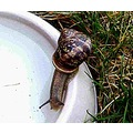 a snail drinking water..