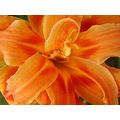 flower tiger lilly orange compftorange