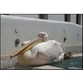 greece mykonos island pelican bird
