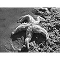 starfish rockpool beach sea sand blackandwhite