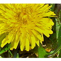 dandelions weeds but i likeem