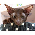 Oriental Shorthair havana Cat
