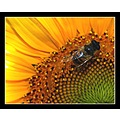 sunflower insect bee heat colors DOF flower nature closeup supermacro