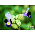 """In our language its call  """"Bunga Mulut Itik"""" if translate it became Duck Mouth Flower"""