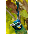 peacock bird feathers animal wildlife eyes beak
