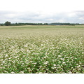 flower flowers buckwheat nature landscape travel trip latvia remote places road