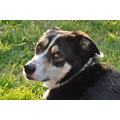 dog female collie black white head eyes