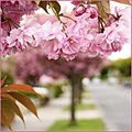 blossoms tree flowers pink