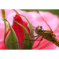 summer dragonfly macro nature animal flower