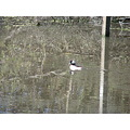 bird duck bufflehead