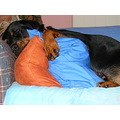 rottweiler dog canine animal pet family