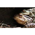 toads spring ribbit