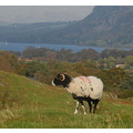 sheep cumbria