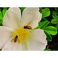 Close White Rose Flower Flies Skane Sweden 2012 October