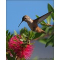 DancingFriday birds hummingbirds nature