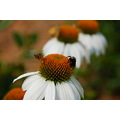 Echinacea commonly called Purple Coneflower
