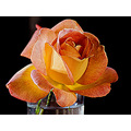 korni flowers rose