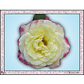 Rose flower plant doubledelight aloha Oregon