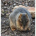 Meet Perry our female foxsquirrel.  She is one of two regular morning visitors.  They are large s...