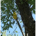 spaghettisquash tree