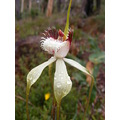 white spider orchid flower plant