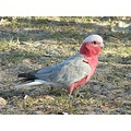 australia birds galah cockatoo