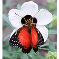 butterfly black red flower white