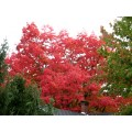 red tree autumn fall