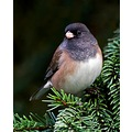 Oregon Junco bird Buraby BC