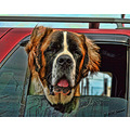 animal dog stbernard