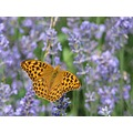 butterfly summer lavendel