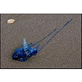 bluebottle jellyfish