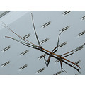 insect bug walkingstick