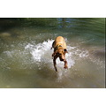 animal dog MagyarVizsla Vizsla Alvaro Watergames jumpoutthewater