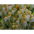 Taken 3/25/2012.  Pieris Japonicas, from the Borst Home, in Centralia, WA.  Boy do They Smell Sweet!