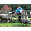 farm animalssheep pig farmanimals lady farmer